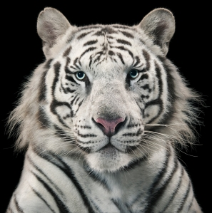 Blue-eyed Leucistic Tiger ©Tim Flach